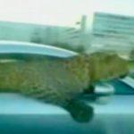 Leopard als Beifahrer
