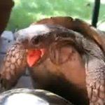 Poppende Schildkröten