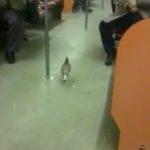 Taube in der U-Bahn
